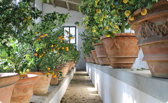 Citrus plants at the Boboli Gardens