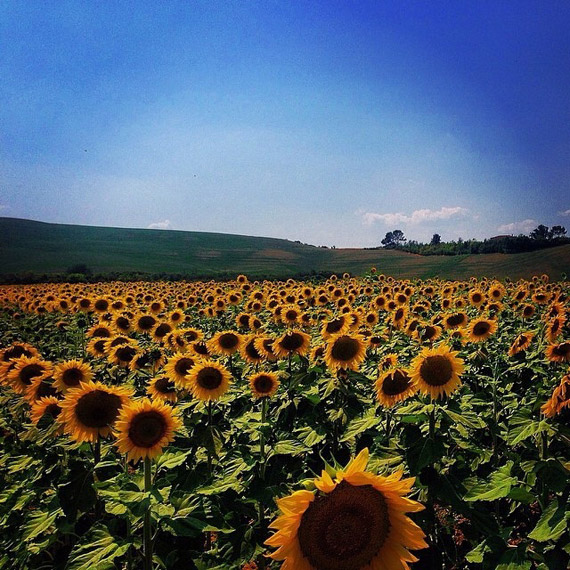 I campi di girasoli scaldano l'estate Toscana - photo credit  @preghile