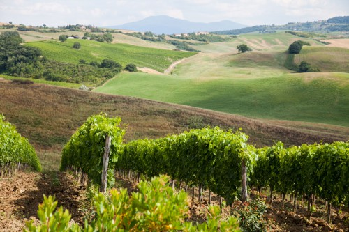 vineyards-over-hills