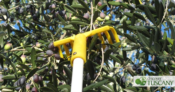 Tuscan Olive Oil Picking Olives Amp New Olive Oil Time In